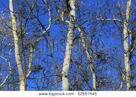 Leafless aspen trees on blue sky background