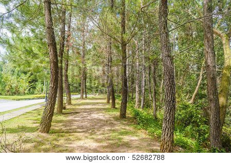 Pine Casuarina Tree And Asphalt Road
