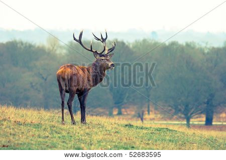British Deer Stag in the park