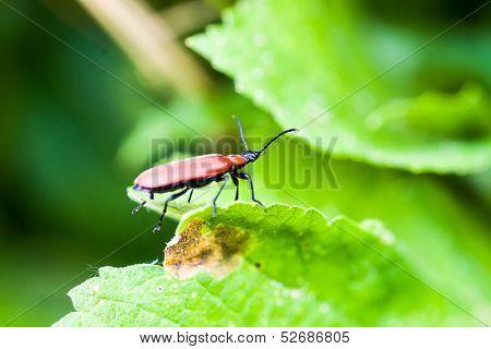 Cardinal Beetle