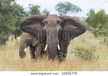 African Elephant (loxodonta Africana) Female With Young, South Africa