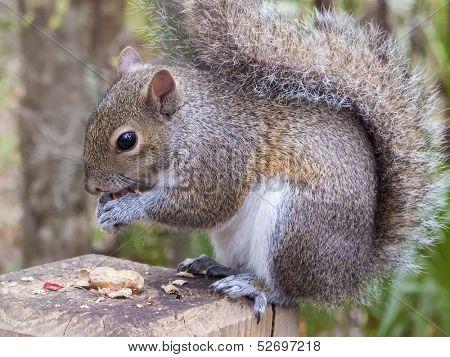 Gray squirrel, Sciurus Carolinensis, sitting on a fence post eating a peanut