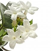 stock photo of climber plant  - Jasmine Stephanotis plant isolated on a white background - JPG