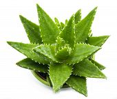pic of aloe-vera  - aloe vera with water drops isolated on white background - JPG