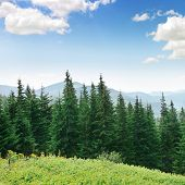 stock photo of blue spruce  - Beautiful pine trees on background high mountains - JPG