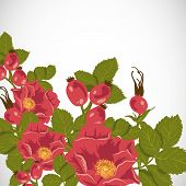 Floral background with wild rose, brier