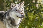 pic of north american gray wolf  - North American Gray Wolf - JPG