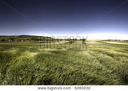 Green Grain In Windy Day
