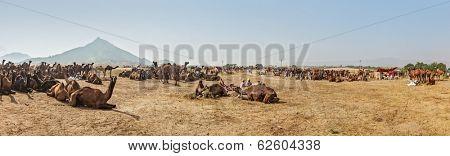 Panorama of camels camp at Pushkar Mela (Pushkar Camel Fair). Pushkar, Rajasthan, India