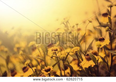 Vintage Photo Of Field Of Yellow Flowers  In Sunset