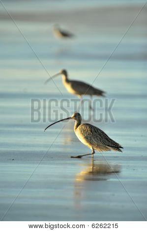lange abgerechnet Brachvögel