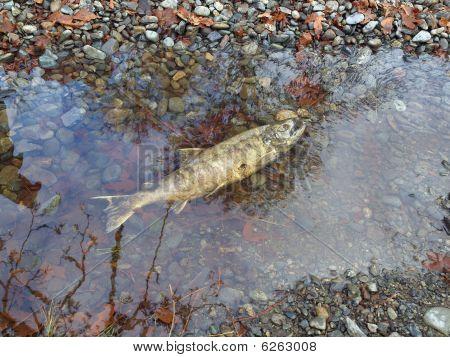 Chum Salmon (oncorhynchus Keta) Run