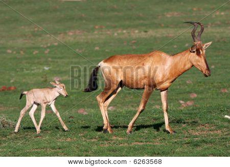 Baby Red Hartebeest Antelope