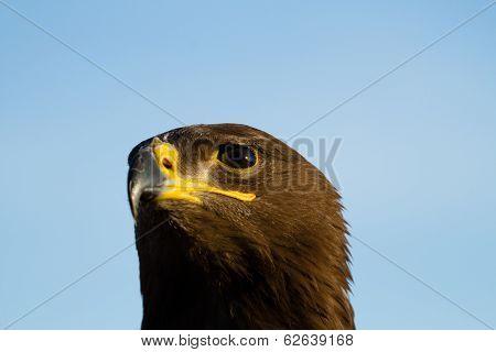 Nipalensis Eagle
