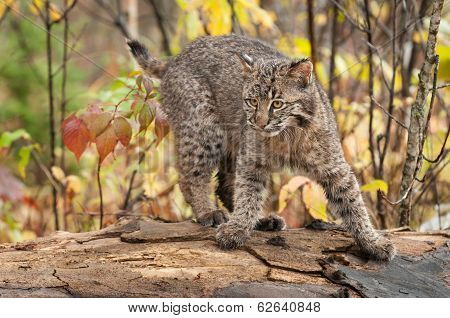 Bobcat Kitten (Lynx rufus) Quick Turn