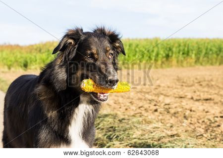 Dog With A Corn Cob