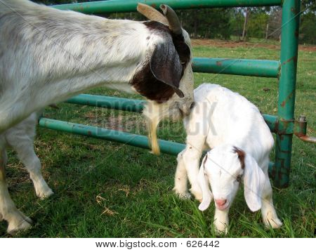 Mama Goat Gives A Nudge
