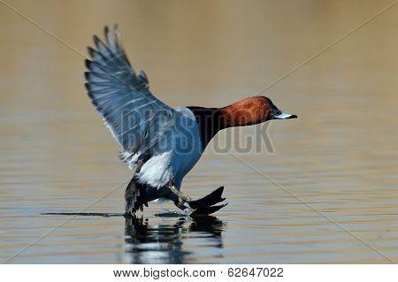 wild duck flying over the lake (aythya ferina)