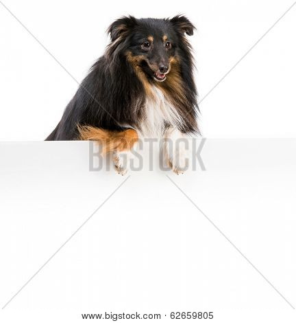 Sheltie dog breed with a white board for writing and logo