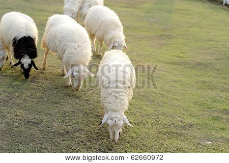 Leader Sheep