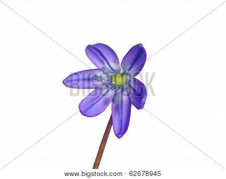Flower  Siberian Squill