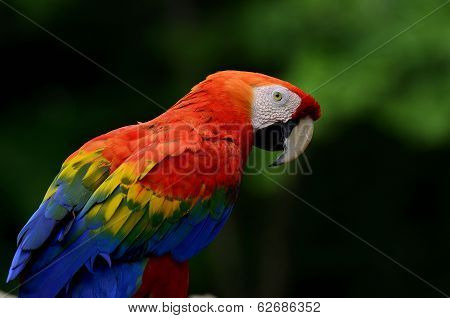 A Scarlet Macaw, Red Macaw, Showing Its Feathers With Dark Background