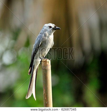 Ashy Drongo (dicrurus Leucphaeus) Nice Grey Bird