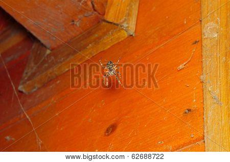Orb Weaver Spider In The Corner