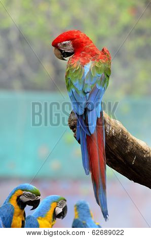 Best Action With Back Details Of Green Wing Macaw, Green-winged Macaw, Red Green Blue Macaw, Green W