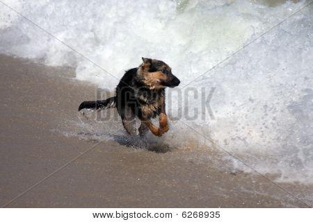 German Shepherd runs in the surf