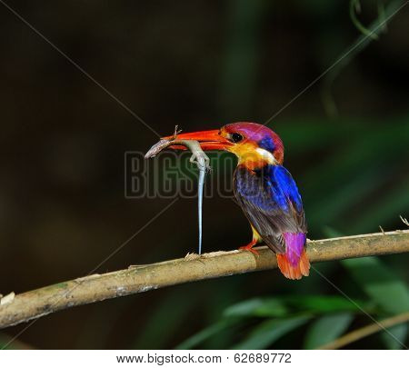 Black-backed Kingfisher, Ceyx Erithacus, A Little Cute And Tiny Multicolor Bird, Bird Of Thailand, C