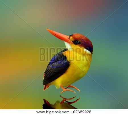 Black-backed Kingfisher, Ceyx Erithacus, A Little Cute Tiny And Colorful Muticolor Kingfisher Facing