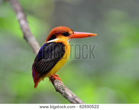 Black-backed Kingfisher, Ceyx Erithacus, Perching On The Hanging Branch Taken From Kaeng Krachan Nat