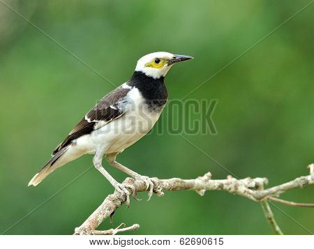 Black-collared Starling Bird (sturnus Nigricollis) Standing On The Branch  With Green Blur Backgroun