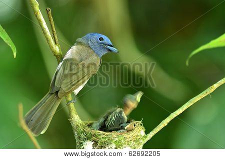 Black-naped Monarch Or Black-naped Blue Flycatcher, Hypothymis Azurea, Asian Paradise Flycatcher, Fe