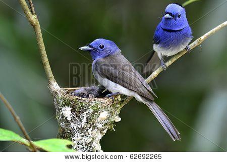 Black-naped Monarch Or Black-naped Blue Flycatcher, Hypothymis Azurea, Asian Paradise Flycatcher, Gu