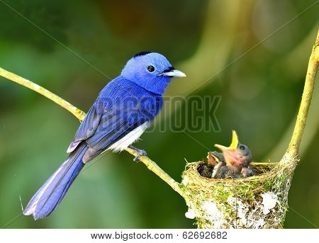 Black-naped Mornach Or Blue Flycatcher Lookin Its Chicks In The Nest With Love And Care