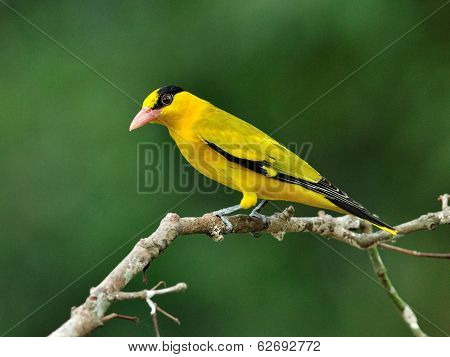 Black-naped Oriole, Beautiful Bright Yellow Bird (oriolus Chinensis) Perching On Nice Branch