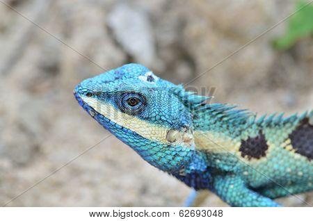 Blue And Brown Lizard (lacerta Viridis),