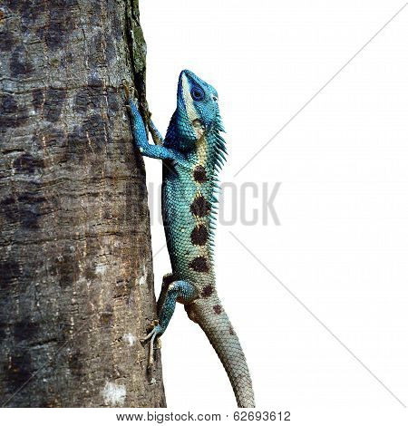 Blue Lizard Perching On The Tree (lacerta Viridis), Beautiful Lizard