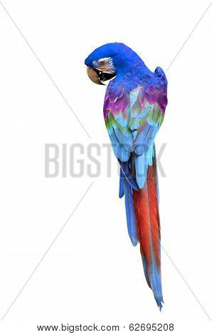 Colorful Macaw Bird, Parrot Isolated On White Background