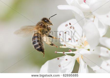flying bee pollinates