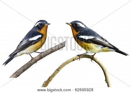 Cute Tiny Mugimaki Flycatcher With Very Nice Details On Its Feathers, Ficedula Mugimaki, Bird, On Is