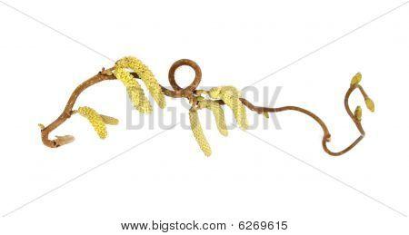 Catkins of corkscrew hazel