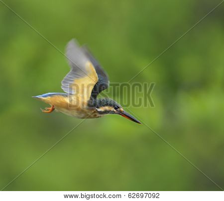 Flying, In Flight Of Common Kingfisher, Alcedo Atthis, Perching On Top Stick With Sharp And Details,