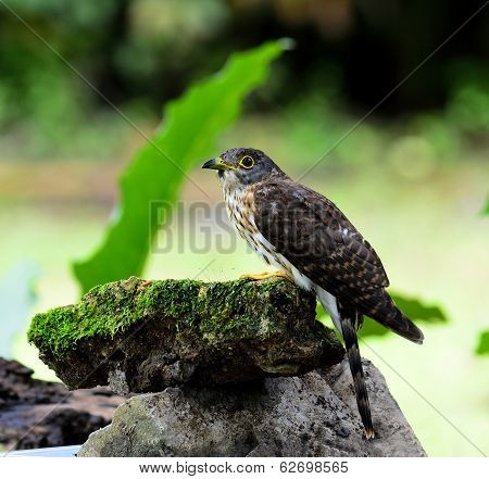 Hodgson's Cuckoo Bird Sitting On Mossy Rock