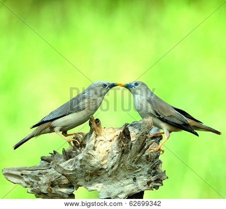 Lovely Pair Of Chestnut-tailed Starling Birds Kissing Each Other (sturnus Malabaricus)