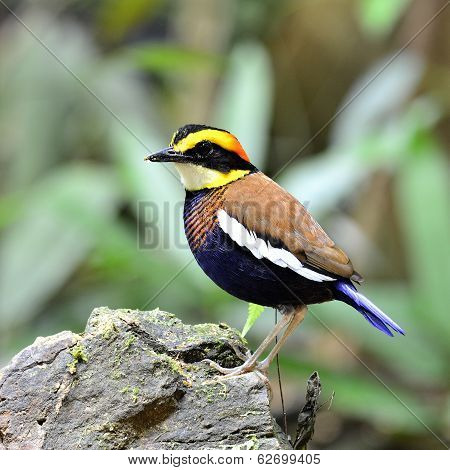 Male Of Banded Pitta (pitta Guajana) Bird Standing On The Rock