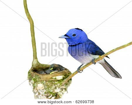 Male Of Black-naped Monarch Or Black-naped Blue Flycatcher (hypothymis Azurea) Beautiful Blue Bird,