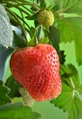 Ripe strawberries grown